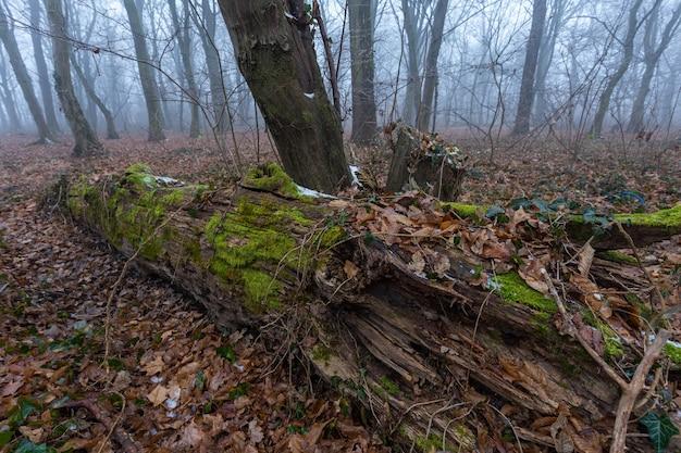 Nahaufnahme eines alten getrockneten umgestürzten baumes in einem nebligen wald in zagreb, kroatien