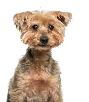 Nahaufnahme eines alten yorkshire terrier mit katarakt