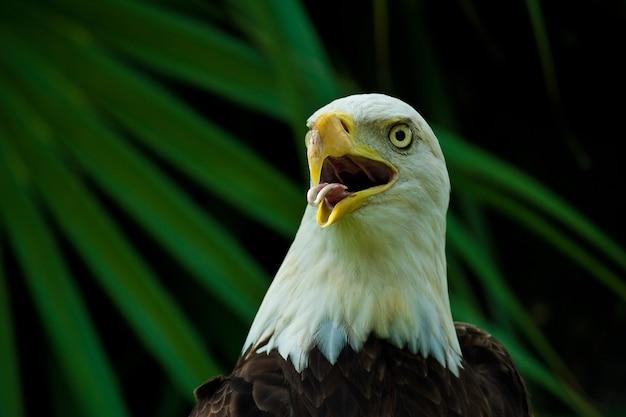 Nahaufnahme eines amerikanischen weißkopfseeadlers mit offenem schnabel