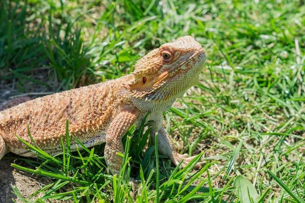 Nahaufnahme eines bärtigen drachen (pogona vitticeps) auf grünem gras. exotisches haustier.