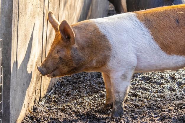 Nahaufnahme eines bauernhofschweins, das auf einem schlammigen boden neben einem holzzaun nach nahrung sucht