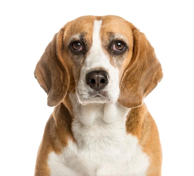Nahaufnahme eines beagle vor einer weißen wand