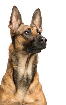 Nahaufnahme eines belgischen schäferhundes