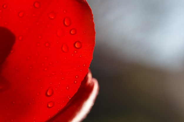 Nahaufnahme eines blattes der roten tulpe in wassertropfen unter den sonnenstrahlen.