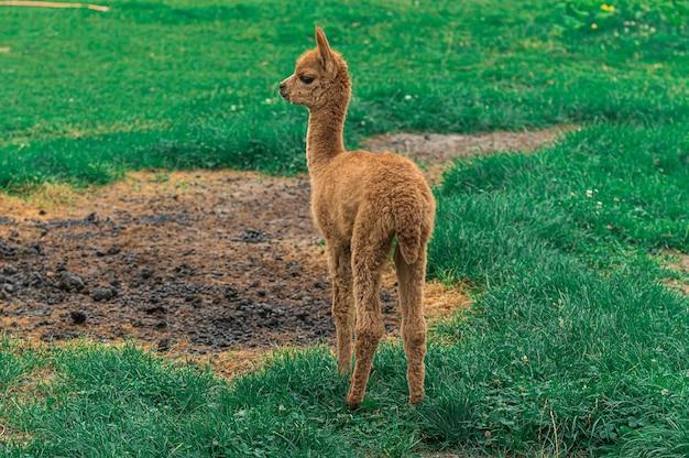 Nahaufnahme eines braunen lamas im feld