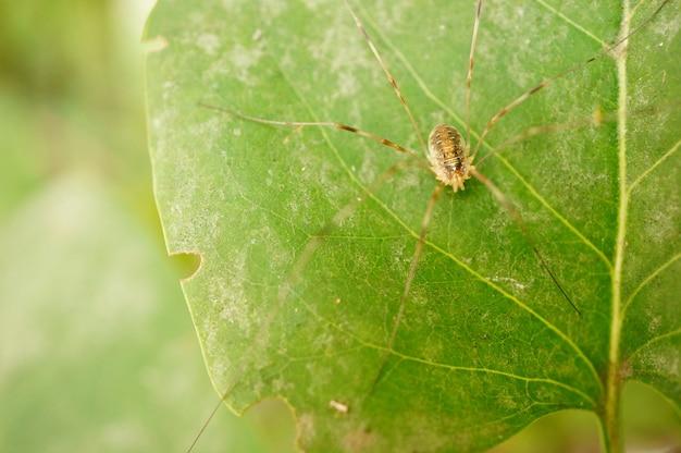 Nahaufnahme eines braunen spinnentiers mit langen beinen auf einem blatt
