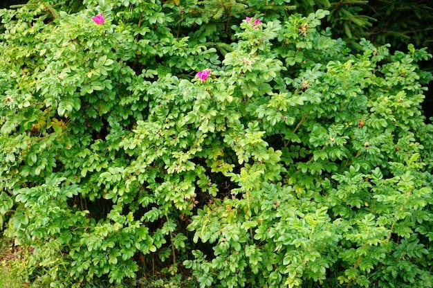 Nahaufnahme eines busches mit ein paar rosa blumen