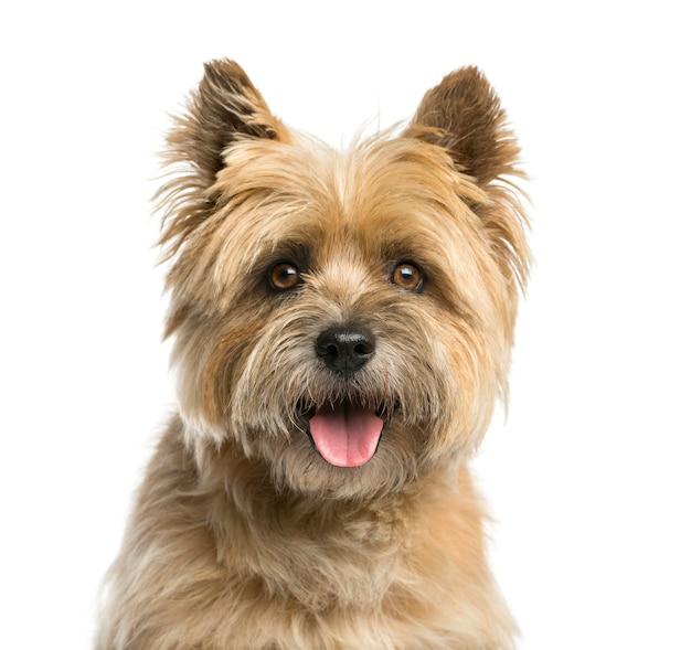 Nahaufnahme eines cairn-terriers vor einer weißen wand