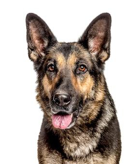 Nahaufnahme eines deutschen schäferhundes, lokalisiert auf weiß