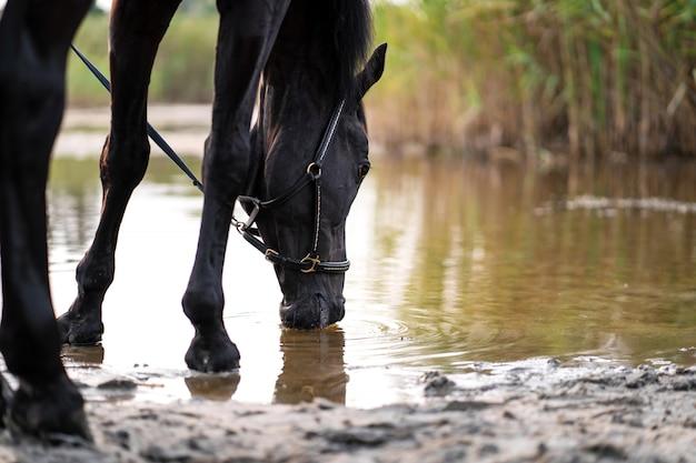 Nahaufnahme eines dunklen pferds trinkt wasser von einem see. ausritt