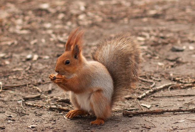 Nahaufnahme eines eichhörnchens, das haselnüsse abnagt. im park spazieren gehen. nettes eichhörnchen