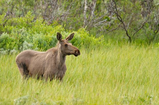 Nahaufnahme eines elchs auf den feldern norwegens bei tageslicht