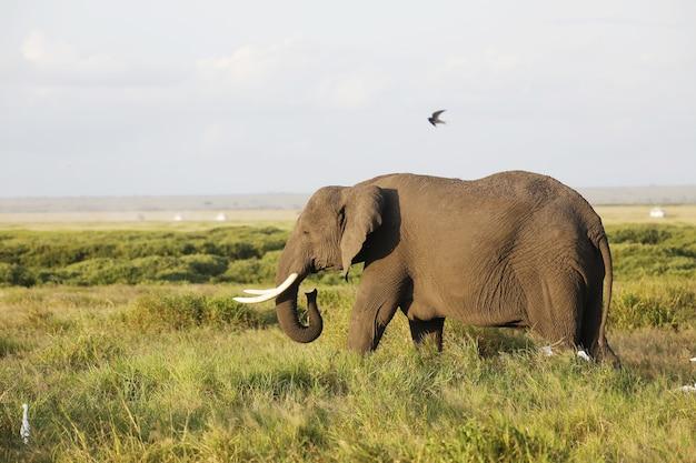 Nahaufnahme eines elefanten, der auf der savanne des amboseli-nationalparks, kenia, afrika geht