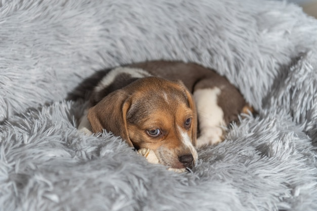 Nahaufnahme eines entzückenden braunen beagle-welpen, der auf dem bett liegt