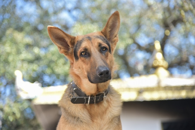 Nahaufnahme eines entzückenden braunen deutschen schäferhundes mit einem halsband Premium Fotos
