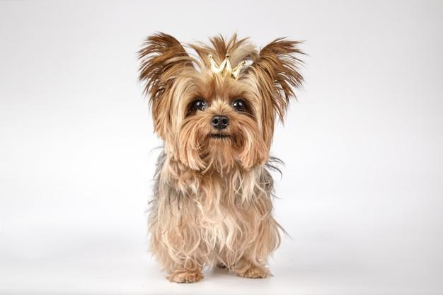 Nahaufnahme eines entzückenden yorkshire-terriers mit einer goldenen krone auf weißer oberfläche