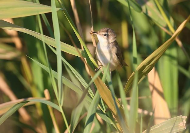 Nahaufnahme eines erwachsenen der reisfeldsänger (acrocephalus agricola) sitzt auf einem schilf im sanften morgenlicht.