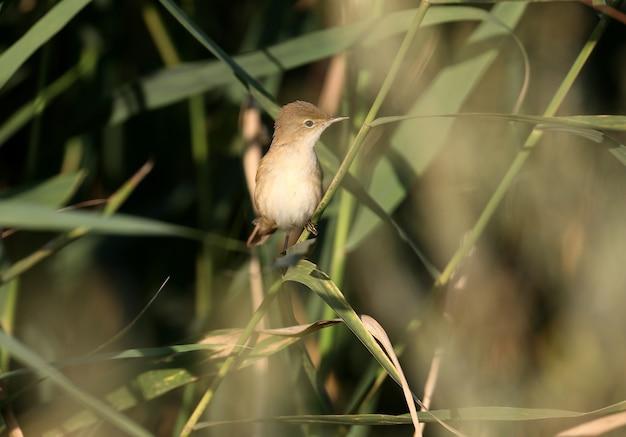 Nahaufnahme eines eurasischen rohrsängers oder einfach nur rohrsänger (acrocephalus scirpaceus) auf einem schilfzweig im morgenlicht. identifikation per foto