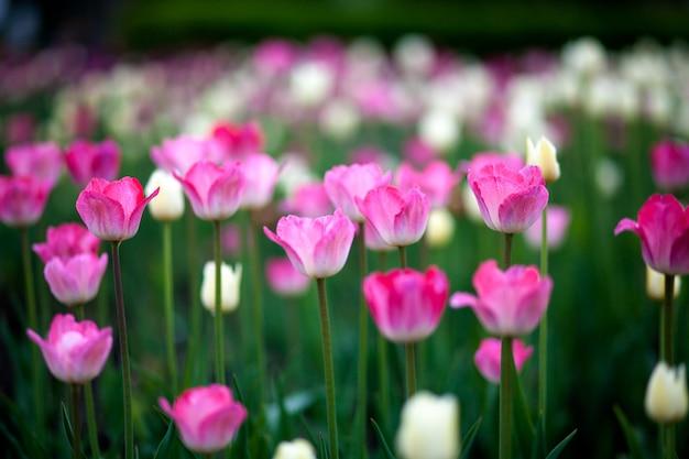 Nahaufnahme eines feldes der rosa und gezierten tulpen auf hohen grünen stämmen in einem stadtblumenbeet unter einer hellen sommersonne