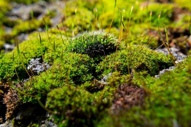 Nahaufnahme eines fleckens des grünen mooses. geringe schärfentiefe