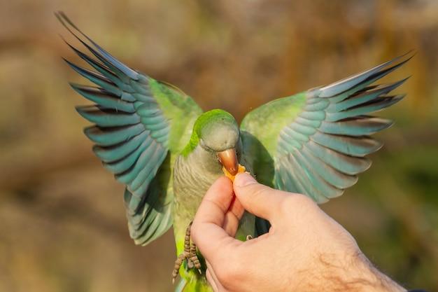 Nahaufnahme eines fliegenden mönchssittichs, der nahrung aus der hand eines mannes bekommt