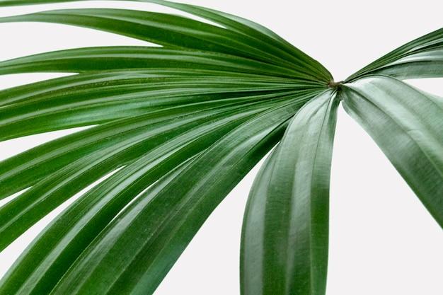 Nahaufnahme eines frischen grünen palmblattes
