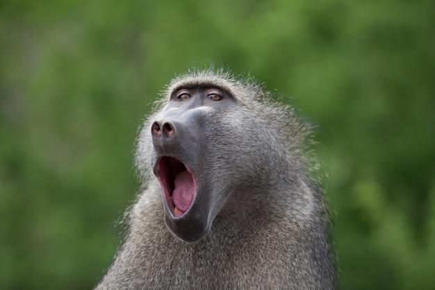 Nahaufnahme eines gähnenden pavianaffen mit einem unscharfen hintergrund