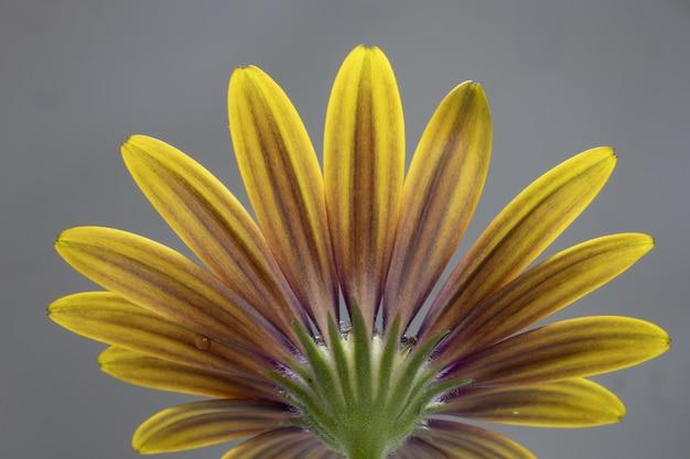 Nahaufnahme eines gelben osteospermums lokalisiert auf einem grauen hintergrund - perfekt für tapete