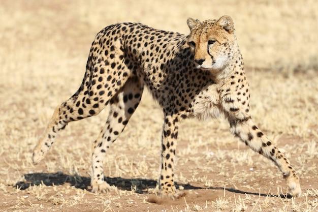 Nahaufnahme eines geparden, der in aktion springt