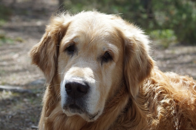 Nahaufnahme eines golden retriever-kopfes der hunderasse, der die kamera betrachtet