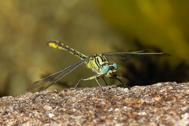 Nahaufnahme eines gomphus pulchellus unter dem sonnenlicht