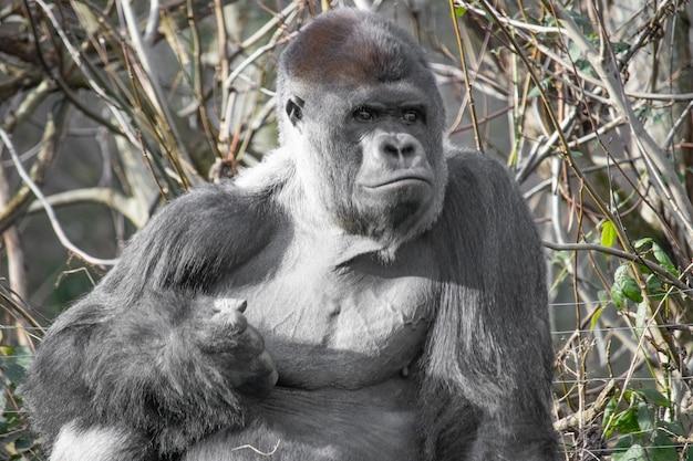 Nahaufnahme eines gorillas, der eine faust macht