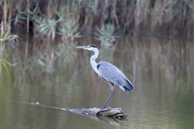 Nahaufnahme eines graureihers, der auf einem baumstamm steht, der in einem teich schwimmt