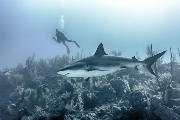 Nahaufnahme eines großen hais, der unter wasser über riffen mit einem taucher im hintergrund schwimmt