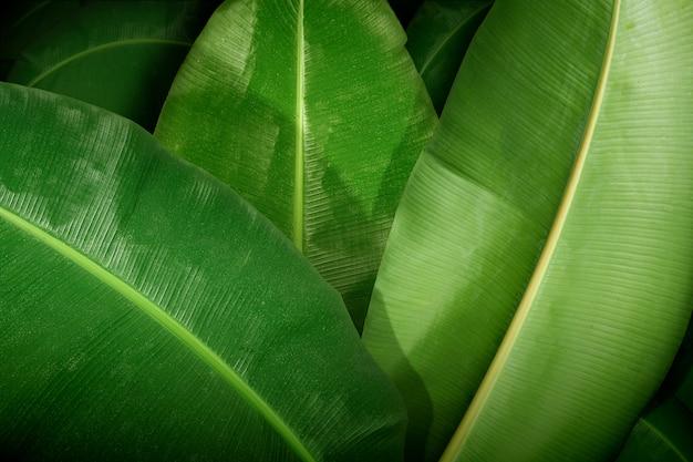 Nahaufnahme eines großen tropischen bananenblattes