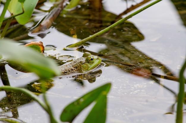 Nahaufnahme eines grünen frosches, der im wasser nahe pflanzen schwimmt