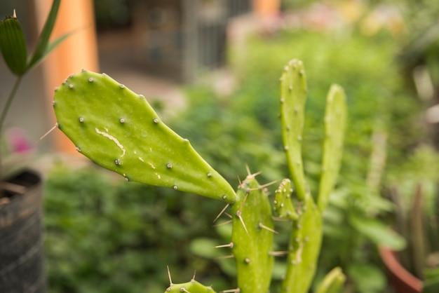 Nahaufnahme eines grünen kaktusfeigekaktus