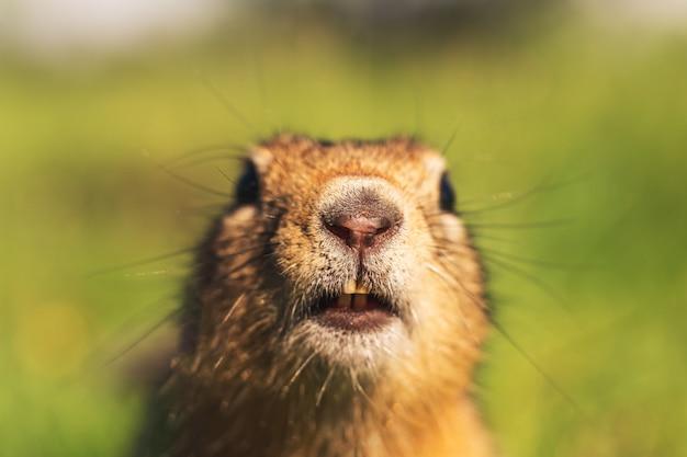 Nahaufnahme eines grundeichhörnchens