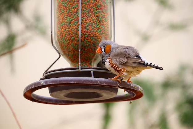 Nahaufnahme eines hausfinkes, der auf einem vogelhäuschen thront