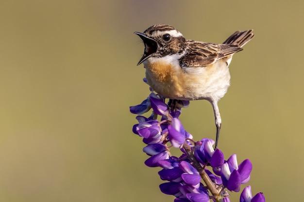Nahaufnahme eines haussperlingsvogels, der auf einer blume mit lila blütenblättern thront