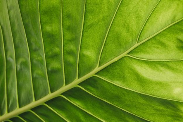 Nahaufnahme eines horizontalen details eines grünen alocasia-blattes mit diagonaler mittelrippe des blattes mit beleuchtung, die die textur des blattes hervorhebt
