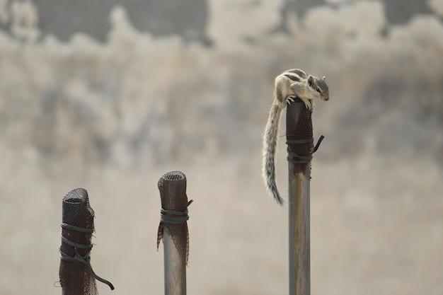 Nahaufnahme eines indischen palmeichhörnchens auf einem pfosten