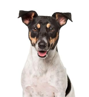 Nahaufnahme eines jack russell terrier, lokalisiert auf weiß