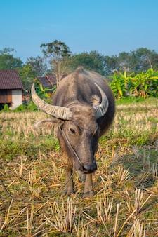 Nahaufnahme eines jungen büffels, der in der weide mit dem dorf im hintergrund steht. pai, thailand.