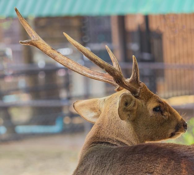 Nahaufnahme eines jungen hirsches mit einem schönen horn natürliche hirsche