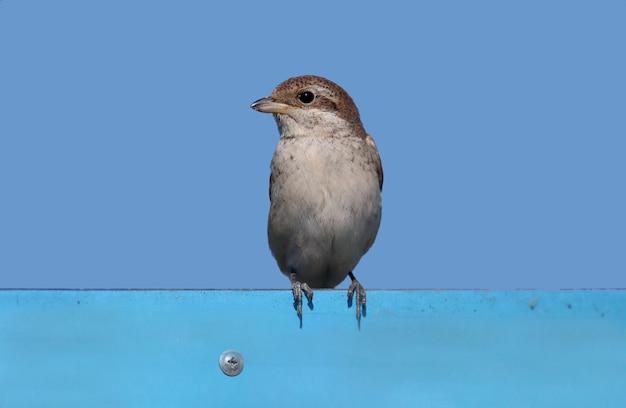 Nahaufnahme eines jungen neuntöter (lanius collurio), der auf einem metallschild gegen den blauen himmel sitzt