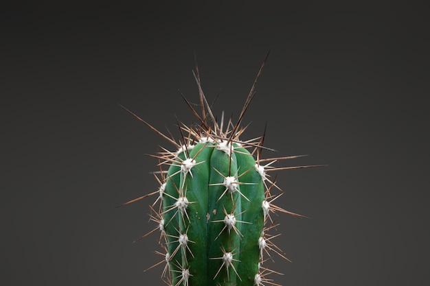 Nahaufnahme eines kaktus mit langen dornen auf einem grauen büro. das konzept von hämorrhoiden, problemen, mandelentzündung, akuten schmerzen.
