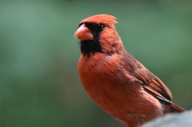 Nahaufnahme eines kardinals mit krümel im schnabel.