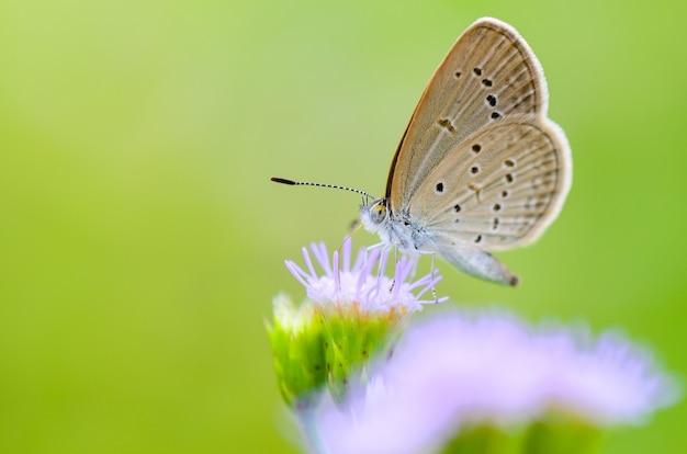 Nahaufnahme eines kleinen braunen schmetterlings, der den nektar auf einer grasblume isst, einer der kleinsten schmetterlinge der welt, tiny grass blue oder zizula hylax hylax