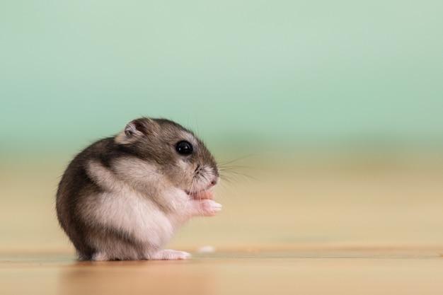 Nahaufnahme eines kleinen lustigen miniatur-jungar-hamsters, der auf einem boden sitzt. flauschige und süße dzhungar-ratte zu hause.